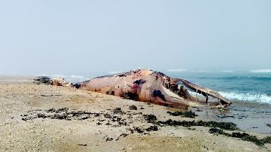 Whale: Believed to be dead for weeks.