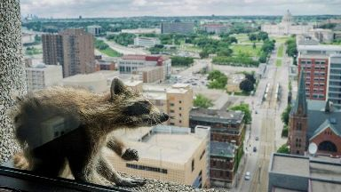 Daredevil raccoon on top of the world after climbing feat