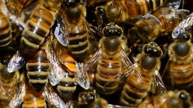Buzz: Italian Buckfast honeybees introduced.