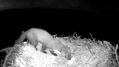 This is the moment a hungry pine marten snatched three eggs laid by a nature reserve's most successful breeding female osprey.