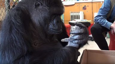 Koko was trusted with pet kittens.