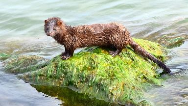American mink: 2198 caught.