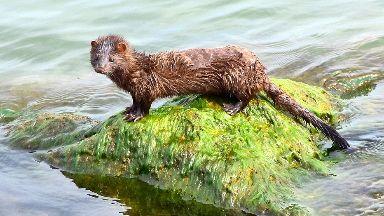 American mink: 2198 caught.