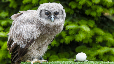 First images of huge 11-week-old owl chick Nala revealed