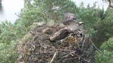 Osprey PT0 flying from its nest at Loch of the Lowes nature reserve.