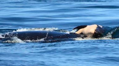 The baby killer whale died soon after being born.