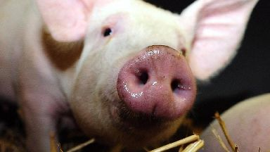 Pig racing event cancelled at festival after animal welfare concerns