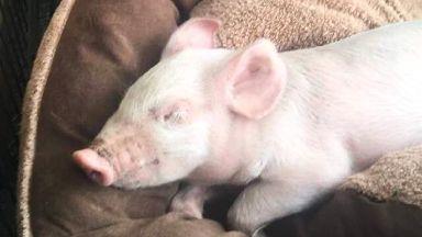 Piglet: Named Branston Piggles.