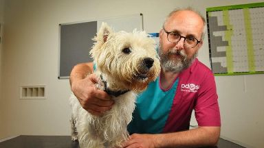 Westie undergoes emergency surgery after brutal dog attack