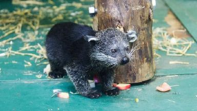 The pair are the first binturongs to be born at Edinburgh Zoo.