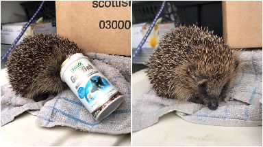 Hedgehog found with fish food container stuck to head