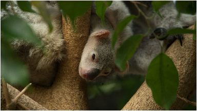 Baby koala joey spotted at Edinburgh Zoo with mum Alinga Jan 2019
