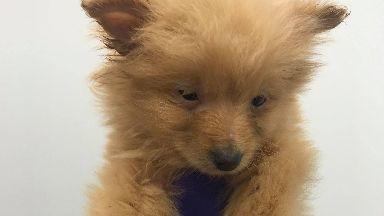 Pomeranian: The puppy died after contracting parvovirus. Scottish SPCA