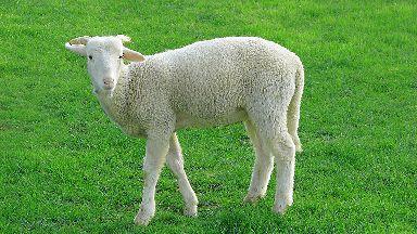 Lamb generic, agriculture, farming