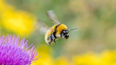 Bombus distinguendus bumblebee