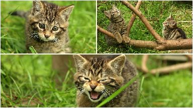 Wildcat Kittens