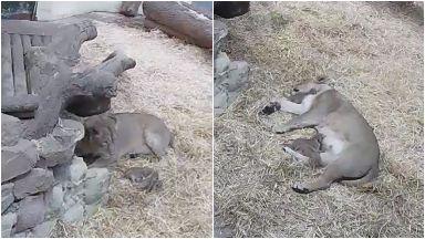 Endangered Asiatic lion cubs born at Edinburgh Zoo September 2019