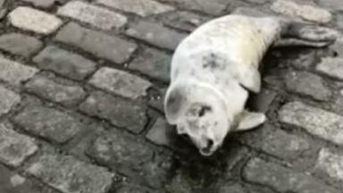 Seal pup, Greenock