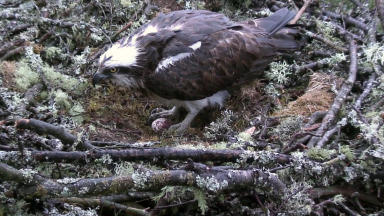 Lady: Oldest breeding osprey in UK.