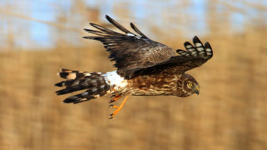 Hen Harriers: Less than 500 breeding pairs in Scotland.