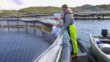 Fish farms: Lice pose threat to wild salmon and trout.