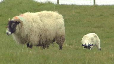 Dogs: Six sheep had to be put down. (file pic)