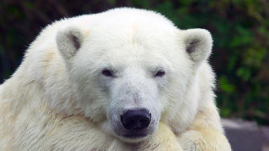 Polar bears to be bred at Highland Wildlife Park