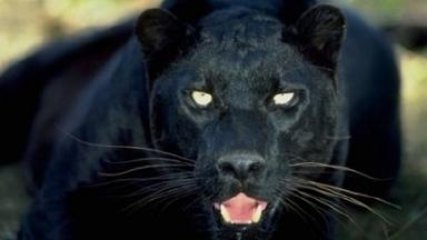 'Panther' was spotted near Dornoch in September