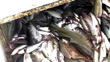 Depleted: Cod stocks are not known