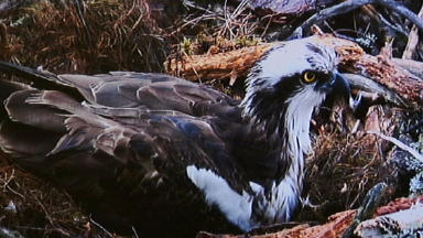 Lady, 25, is the UK's oldest breeding osprey.
