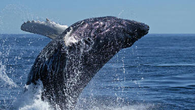 Humpback: Whales being spotted around the east coast in greater numbers.
