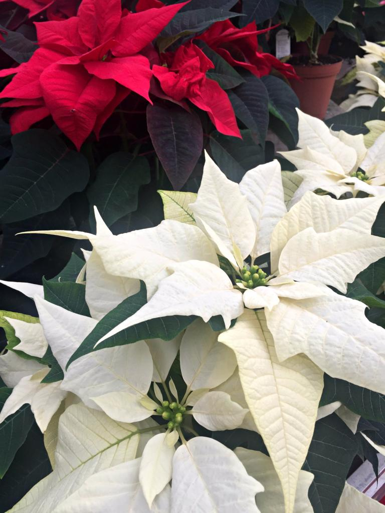 blooming red inside one of scotland u0027s largest poinsettia farms