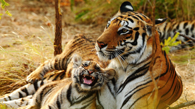 Counting Tigers: A Survival Special - Tue 30 Jul, 9.00 pm